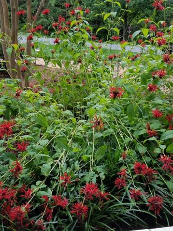 curved bee balm