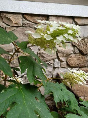 curved hydrangea