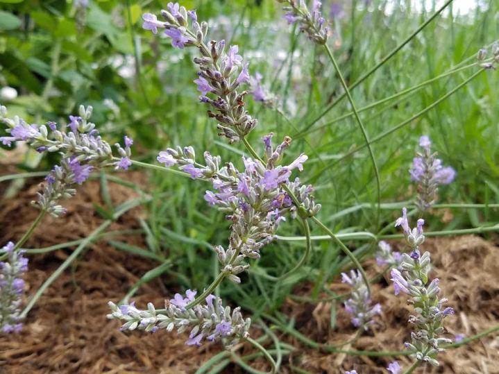 curved lavender